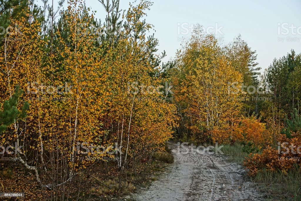 Yellow birches and bushes on the edge of a forest with a sandy road royalty-free stock photo