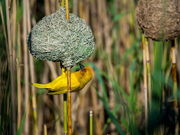 yellow bird (masked weaver) building nest auf den kopf gestellt - fluss sambesi stock-fotos und bilder