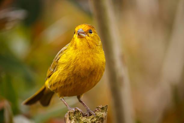 jaune canari oiseau, gros plan - canari photos et images de collection
