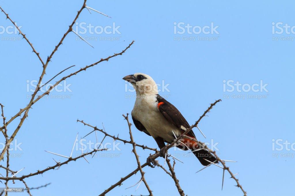 Yellow bird on a tree. Hangbird. Tarangire, Tanzania stock photo