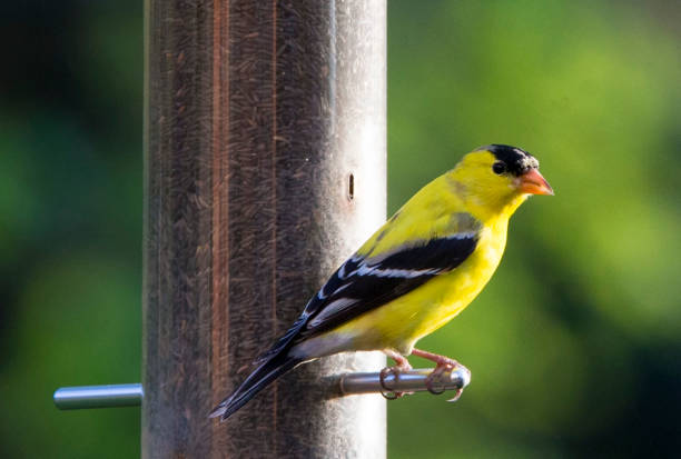 Yellow bird American Goldfinch feeding in the backyard. gold finch stock pictures, royalty-free photos & images