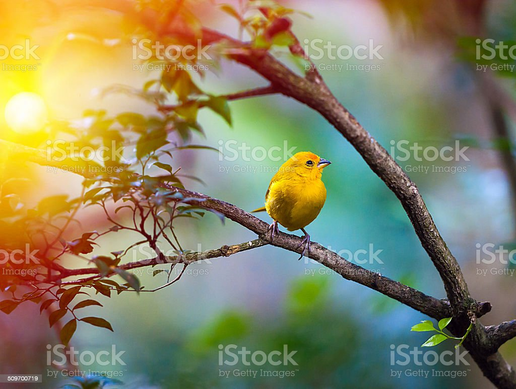 Yellow bird sitting on a branch stock photo