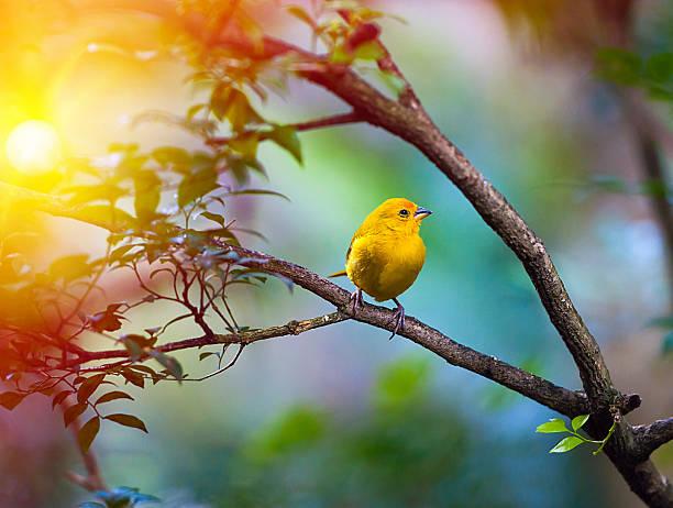 jaune oiseau assis sur une branche - canari photos et images de collection