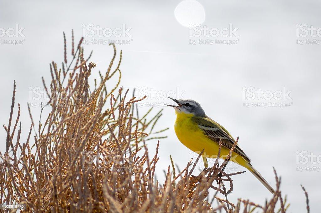 yellow bird wagtail sing at sunny day stock photo