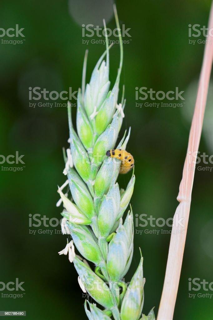 amarelo caterpillar preto em um espigas de trigo - Foto de stock de Artrópode royalty-free