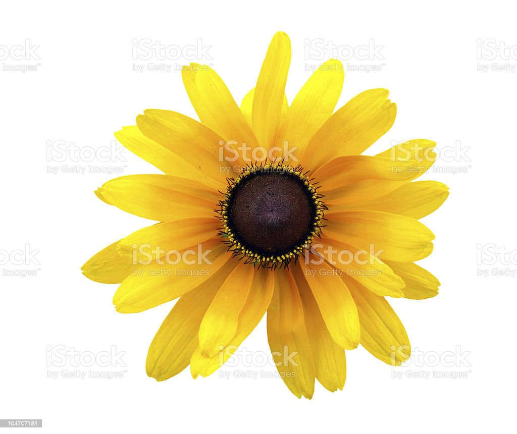 A yellow, Black Eyed Susan flower on a white background stock photo