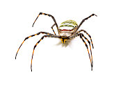 Yellow black spider on white background. Tropical insect crab spider studio photo. Exotic spider detailed macrophoto. Striped insect. Scary animal of tropic jungle. South Asia arachnid species