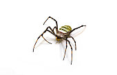 Yellow black spider on white background. Tropical insect crab spider closeup photo. Exotic spider detailed macrophoto. Striped insect. Creepy animal of tropic jungle. South Asia arachnid species