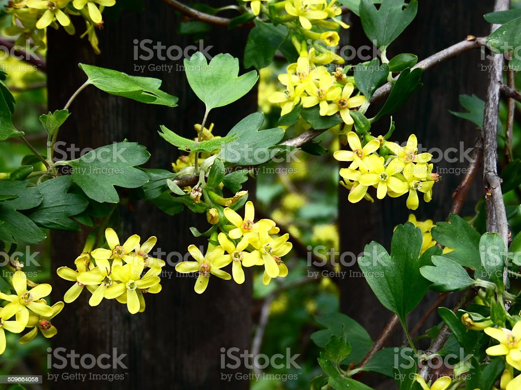 Yellow Blackcurrant Flowers In Bloom Stock Photo More Pictures Of