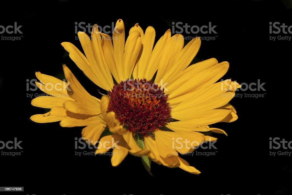 Yellow Blanketflower royalty-free stock photo
