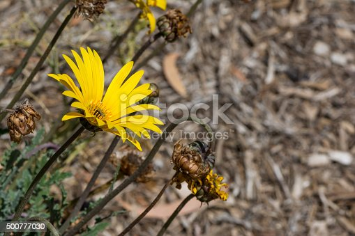 A single yellow Blooming Arctotis flower head in the garden bed with a variety of spent, old and shrivelled Arctotis flower heads