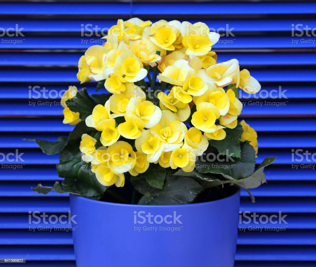 Yellow blooming begonia on a background of blue shutters foto