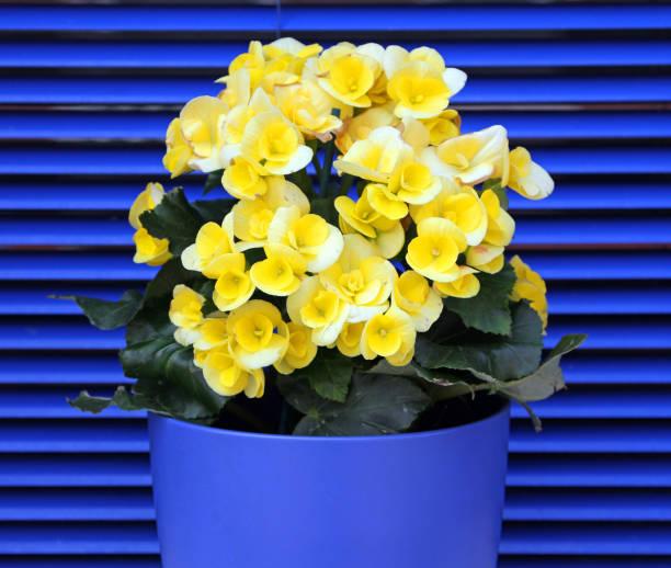 gula blommande begonia på en bakgrund av blå fönsterluckor - foderblad bildbanksfoton och bilder