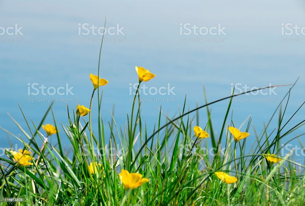 Yellow blooming buttercup flowers near the water in spring stock photo
