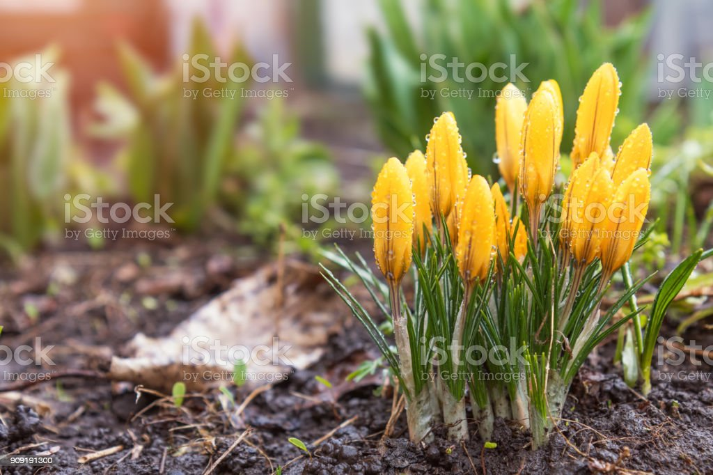 Yellow blooming crocuses with water drops. Low angle. Sunrise. Beautiful spring background with copy space. royalty-free stock photo