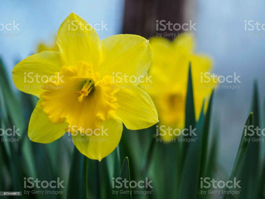Yellow Blooming Daffodils Narcissus On Blurred Background Spring