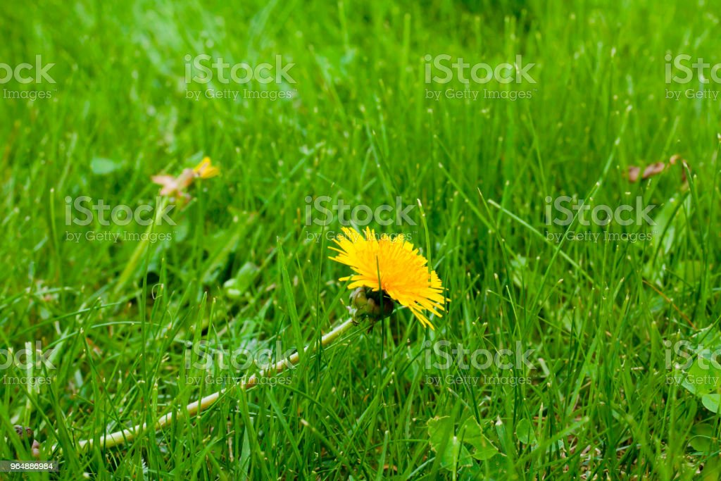 Yellow blooming dandelion in a green lawn. royalty-free stock photo
