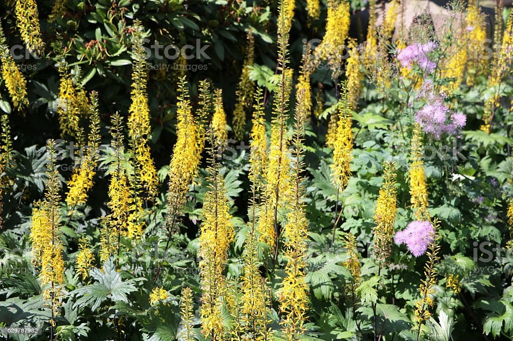 Yellow blooming Ligularien, Sweden Scandinavia stock photo
