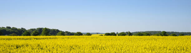 yellow blooming rapeseed field and forest against the clear blue sky, wide landscape in panoramic banner format as a webpage background, copy space yellow blooming rapeseed field and forest against the clear blue sky, wide landscape in panoramic banner format as a webpage background, copy space biodiesel stock pictures, royalty-free photos & images