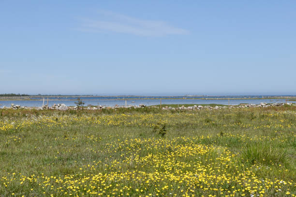 Yellow blossom flowers in a coastal landscape stock photo