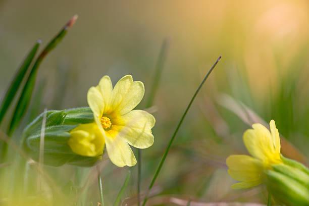 Gelbe Blüten der gemeinsamen Wiesenschlüsselblume zwischen Gras im Frühjahr – Foto