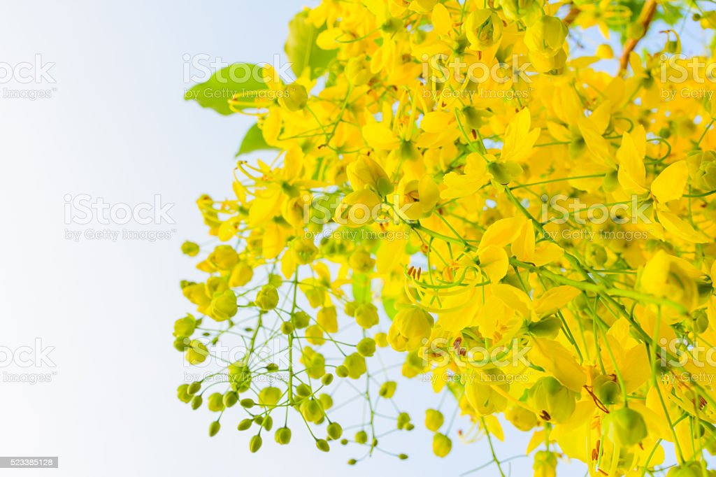 Yellow blossom of flora stock photo