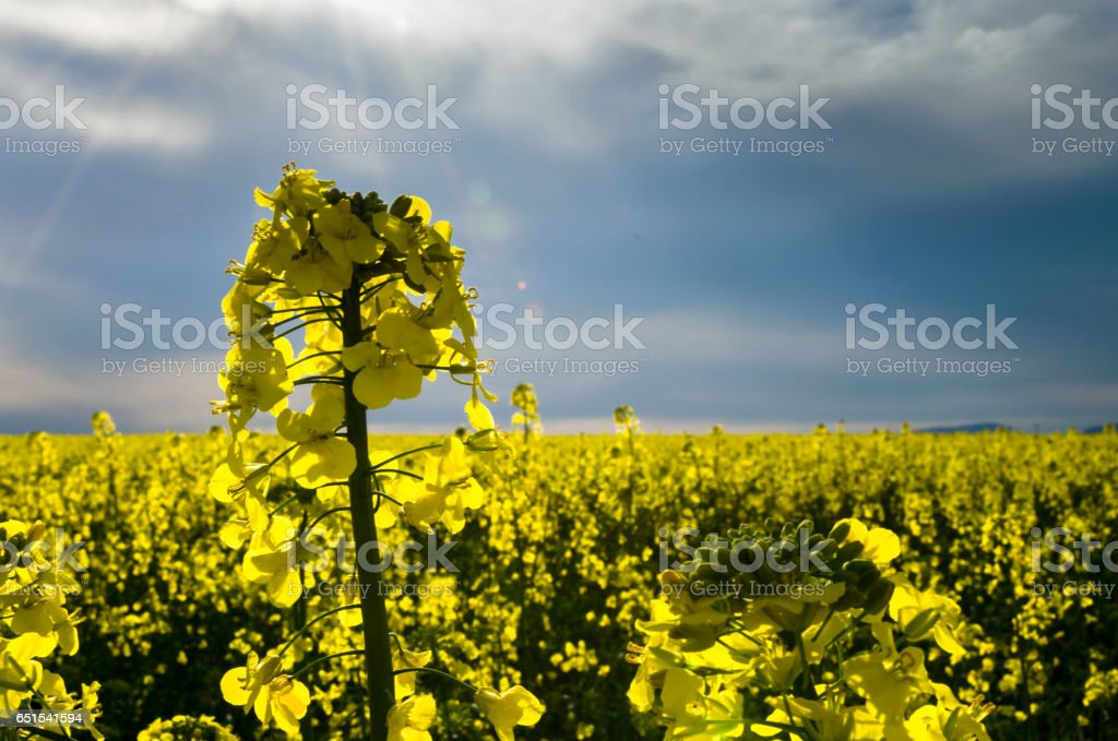 yellow blossoming rape seed oil fields stock photo