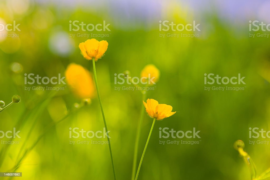 Yellow blossoms at a green grassland in the wind royalty-free stock photo