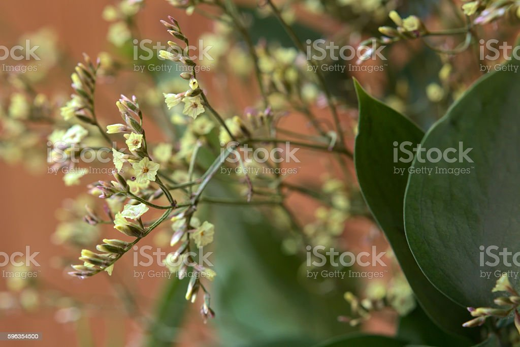 Yellow blossoms of a flower from genus Limonium royalty-free stock photo