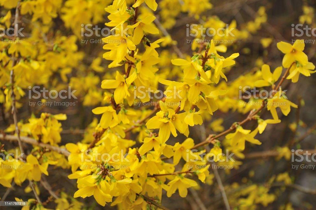 Gelbe Blüten eines Forsythia-Busch – Foto