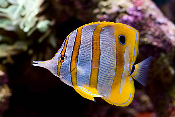 A yellow blue and white butterfly fish stock photo