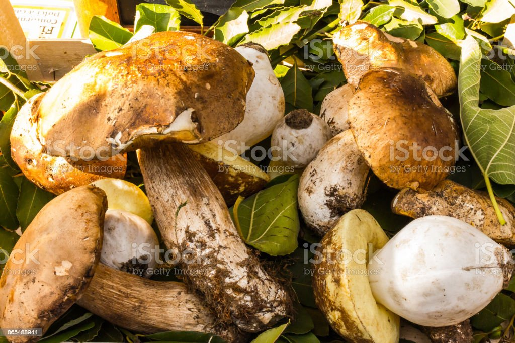 yellow boletus 1 stock photo