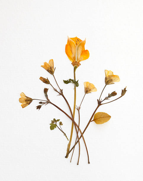 Yellow Bouquet Dried Yellow Bouquet dried plant stock pictures, royalty-free photos & images