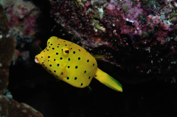 Yellow Boxfish, Lady Elliot Island, Great Barrier Reef, Australia
