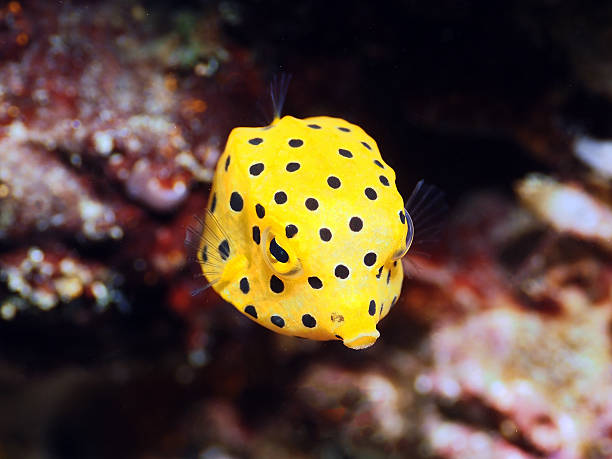 Yellow Boxfish stock photo