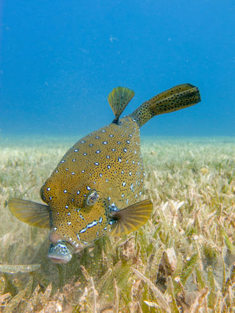 Yellow Boxfish searching for food on the seagrass in Dahab, Egypt stock photo