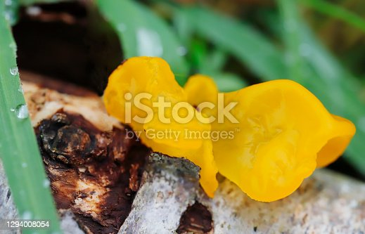 Tremella mesenterica Retz. ex Hook, syn Tremella lutescens Fr. Yellow Brain Fungus, Trémelle mésentérique, Goldgelber Zitterling, Aranyos rezgõgomba, Tremella arancione, Gele trilzwam. Fruit body 2–10cm across, comprising soft, flabby, gelatinous lobes and folds, golden-yellow to orange, drying dark orange, horny, and brittle. Spores white, broadly ovate to subglobose, 7–10 x 6–10µ. Basidia resembling hot cross buns when seen from above. Habitat on dead deciduous branches, sometimes still attached to the tree. Season all year, especially late autumn. Frequent. Not edible. Distribution, America and Europe (source R. Phillips).   This common Species is to be found on dead branches of deciduous Wood, especially in Late Autumn and Winter in the Netherlands.