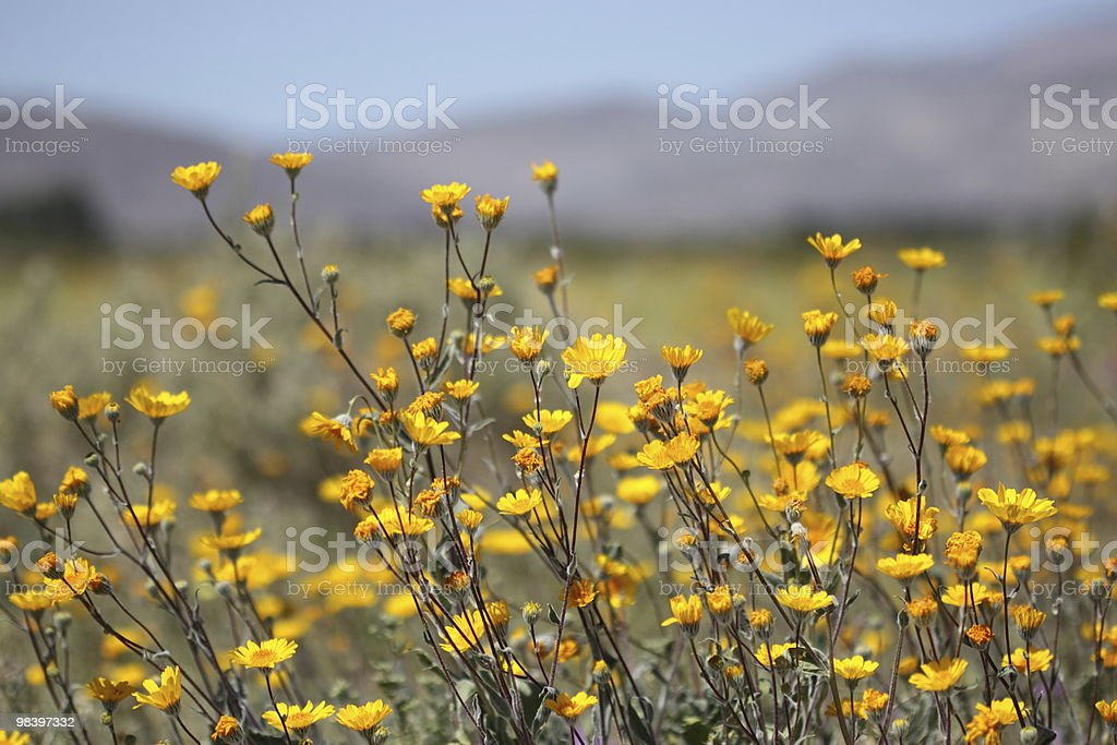 Yellow Brittle Bush royalty-free stock photo