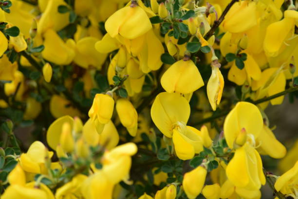 Yellow Broom Flowers Stock Photo More Pictures Of Backgrounds Istock