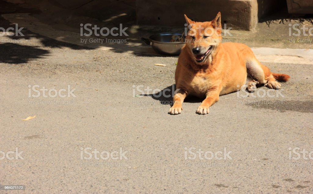 yellow brown dog lying on the ground waiting for owner to feed - Royalty-free Animal Stock Photo