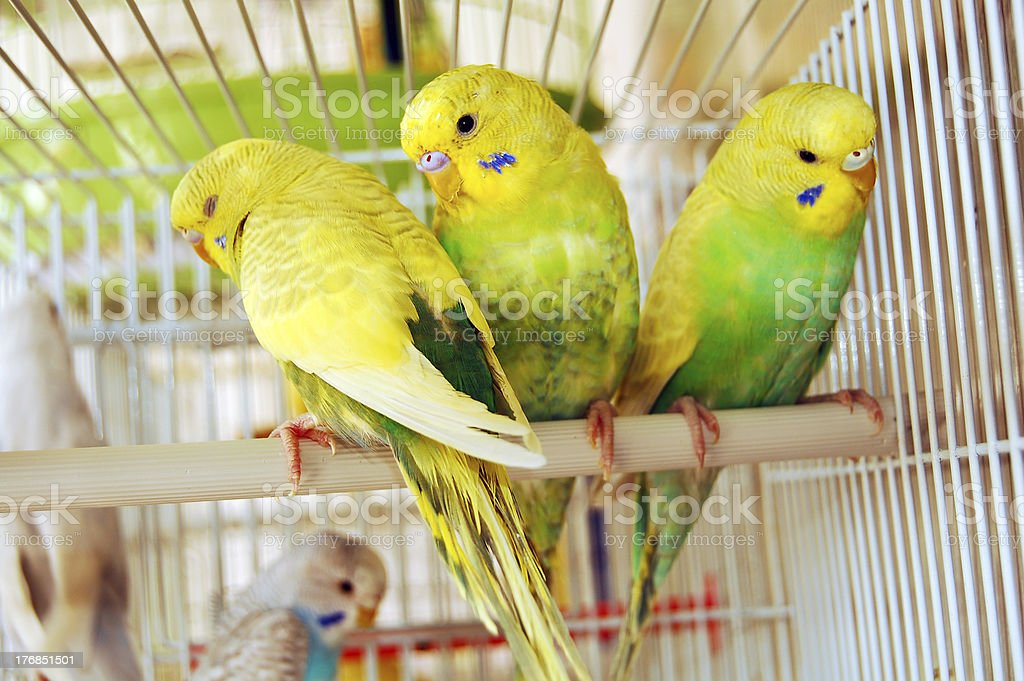 yellow budgerigars stock photo