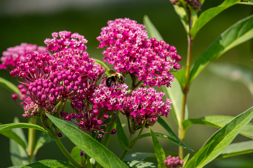 This image shows an abstract macro view of a pollinating bumblebee feeding on the flower blossoms of an attractive rosy pink swamp milkweed plant (asclepias incarnata), with defocused background.