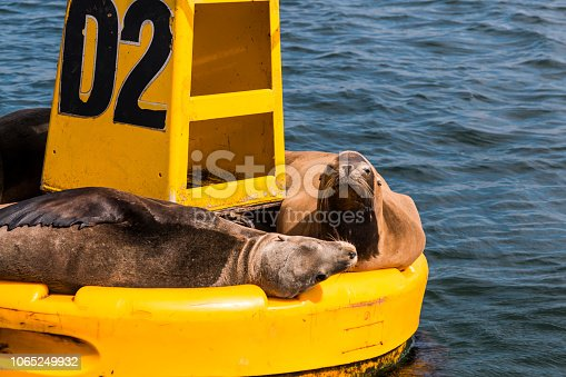 istock Yellow Buoy With Sea Lions in Ensenada, Mexico 1065249932