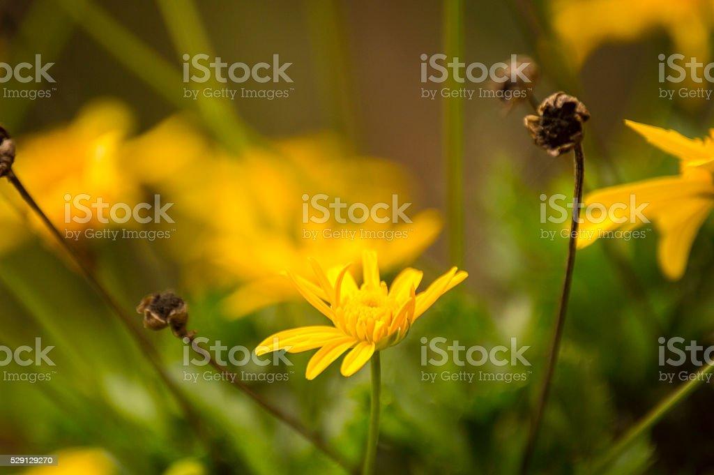 Yellow Bush Daisy, hard life stock photo