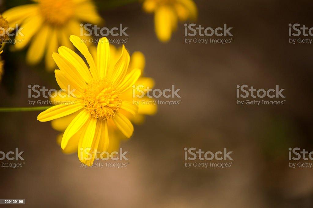 Yellow Bush Daisy in the mid... stock photo