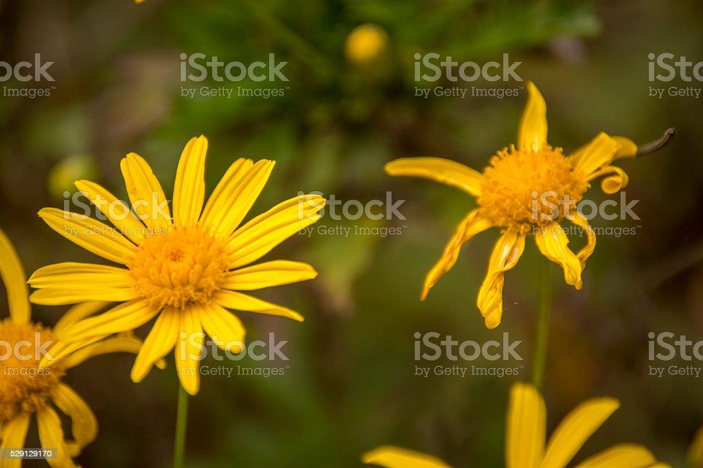 Yellow Bush Daisy, life or death... stock photo