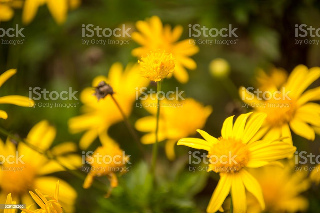 Yellow Bush Daisy the last of us... stock photo
