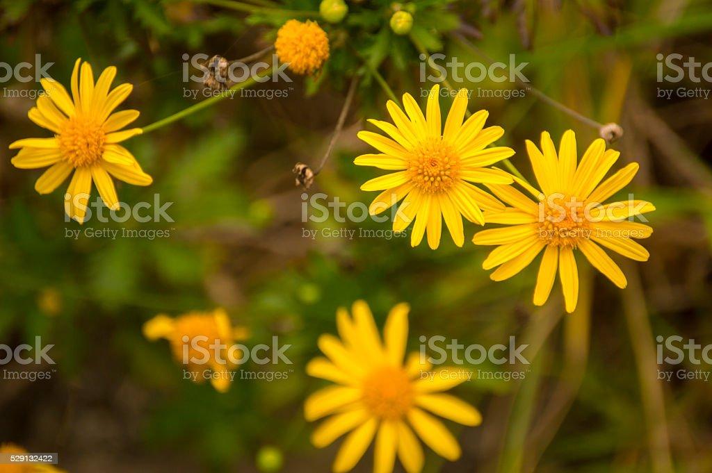 Yellow Bush Daisy, to many... stock photo