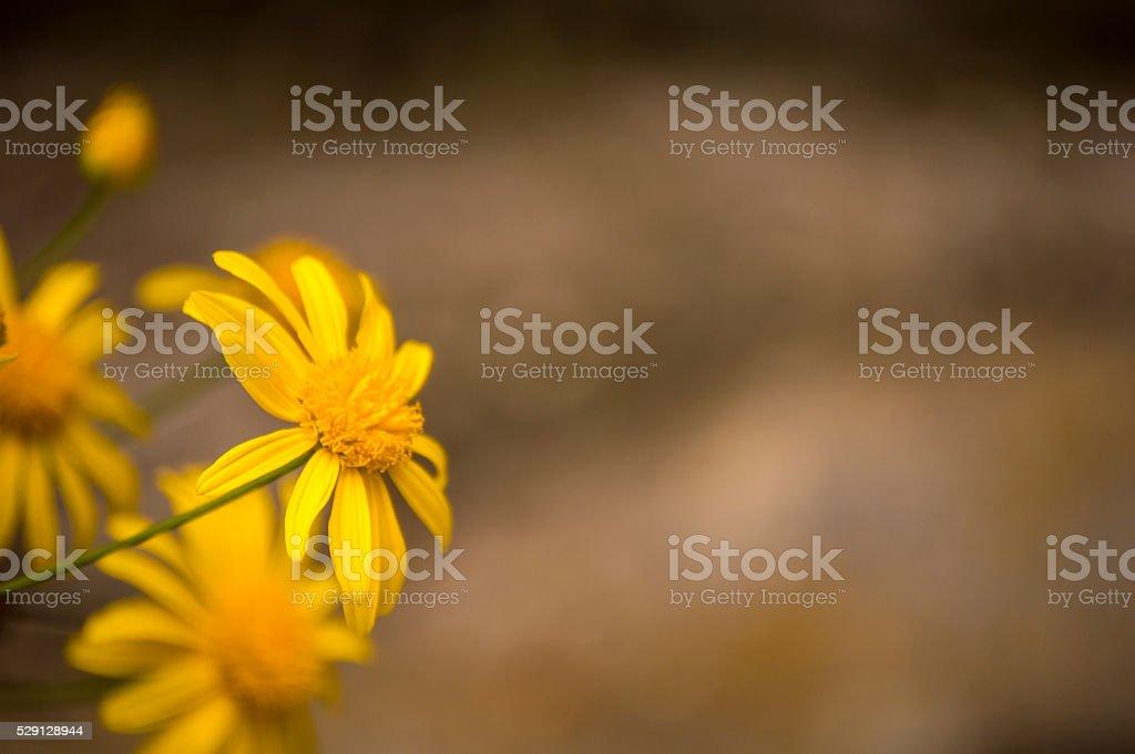 Yellow Bush Daisy to the mid... stock photo