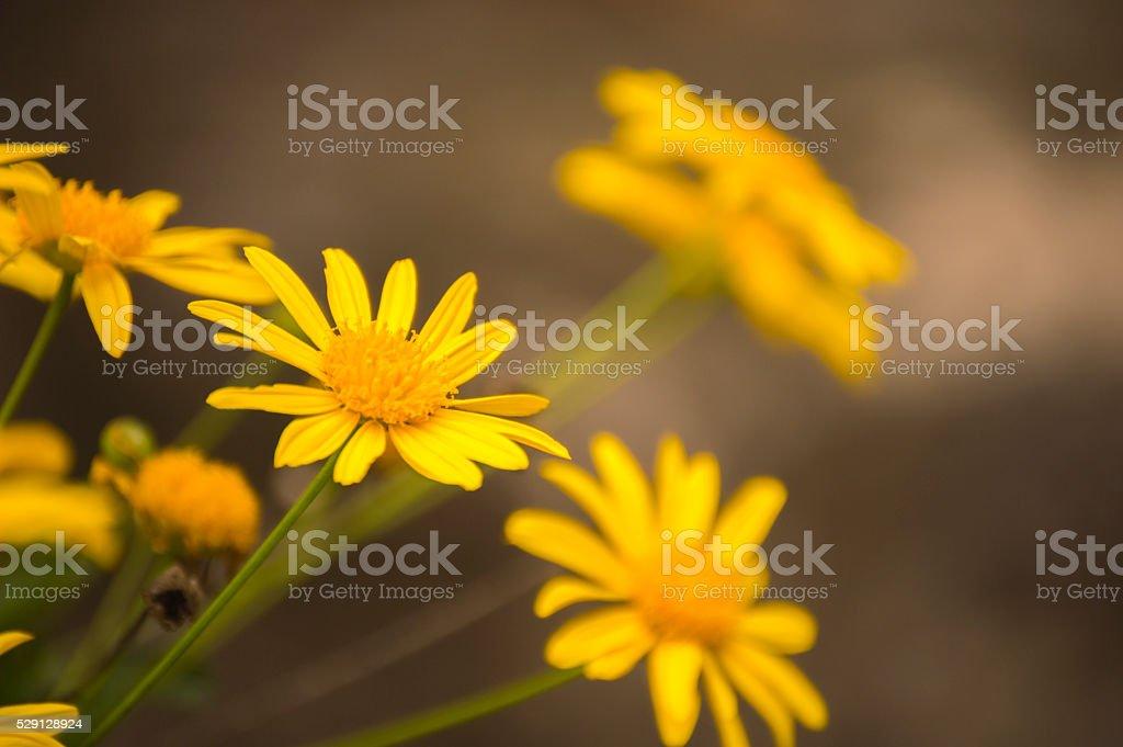 Yellow Bush Daisy to the top... stock photo